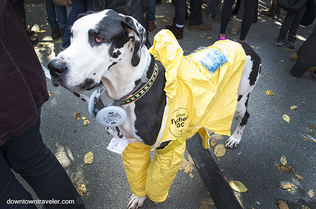 Halloween Dog Costume_Breaking Bad_Radar the Great Dane & PHOTOS: Best dog costumes at the Tompkins Square Halloween Dog ...