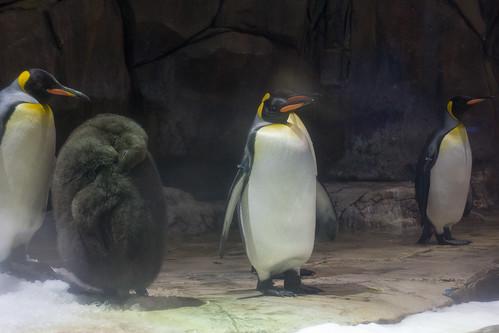還是帝王企鵝比較可愛吧~?