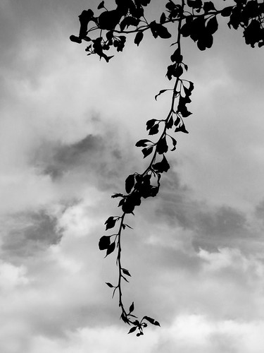 Ivy Leaves Silhouette