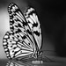 Small photo of Black 'n white ricepaper butterfly