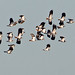 Flock of Lapwings (タゲリ)