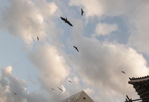 鳩のようにトンビがいっぱい