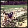 Mud mud glorious mud on a drenched birthday walk #welshterrier #dogsofinstagram