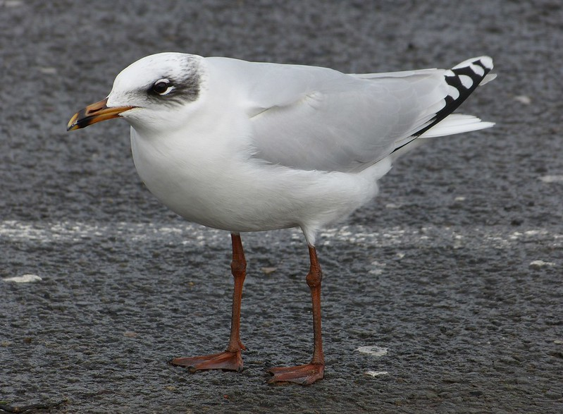 P1060799 - Mediterranean Gull, Bracelet Bay