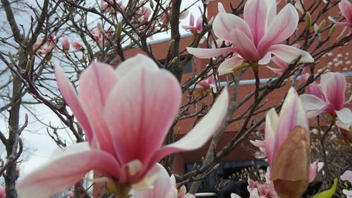 magnolia flower2