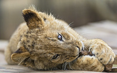 Cub lying and chewing the wood