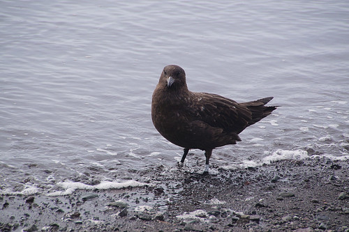 454 King George Island - Carlini station skua