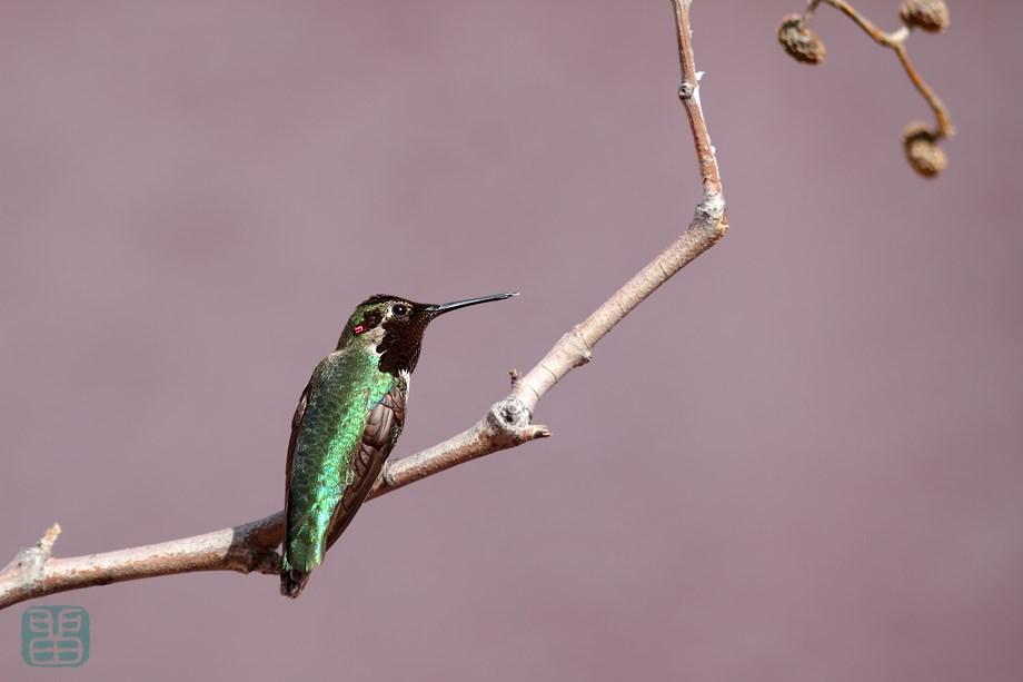 Anna's Hummingbird 030614