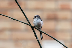 Long-tailed-tit_April-03,-2014_Milton_Keynes