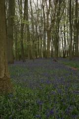 Ashridge Bluebells 2014