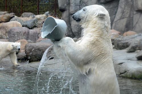 Eisbärin Milak im Zoo Aalborg
