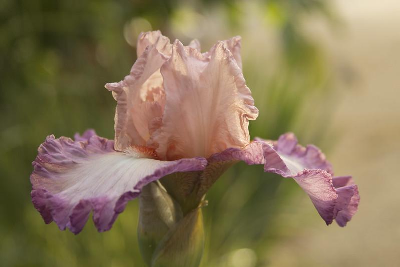Iris My Ginny Sunset