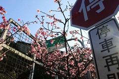 2015 01 25 新北市.烏來.花園新城.寒櫻(藍天-70%-五)