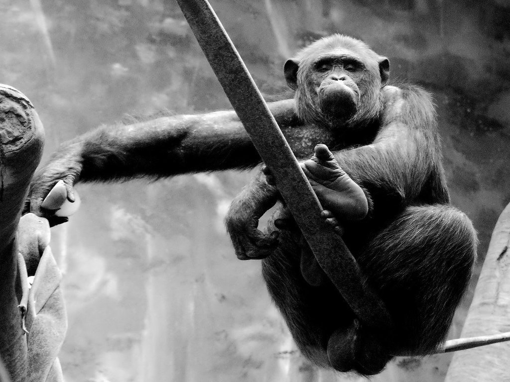 Chimpanzee_1