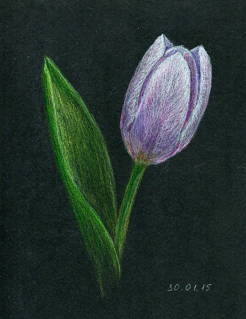 pink tulip. colored pencils. A5