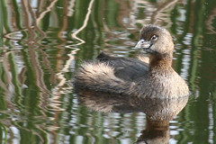 pie-billed grebe IMG_1728b