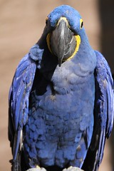 african grey(0.0), animal(1.0), macaw(1.0), parrot(1.0), wing(1.0), fauna(1.0), close-up(1.0), blue(1.0), beak(1.0), bird(1.0), wildlife(1.0),