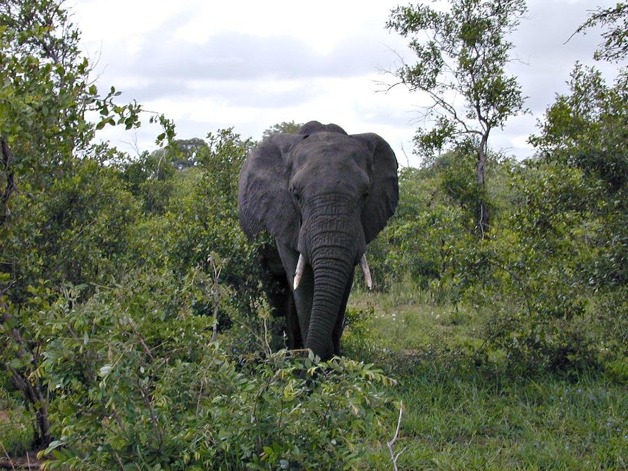 African Elephant in Kruger Park, South Africa