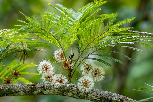 lorito angelshair familiafabaceae subfamiliamimosoideae cojobacostaricensis