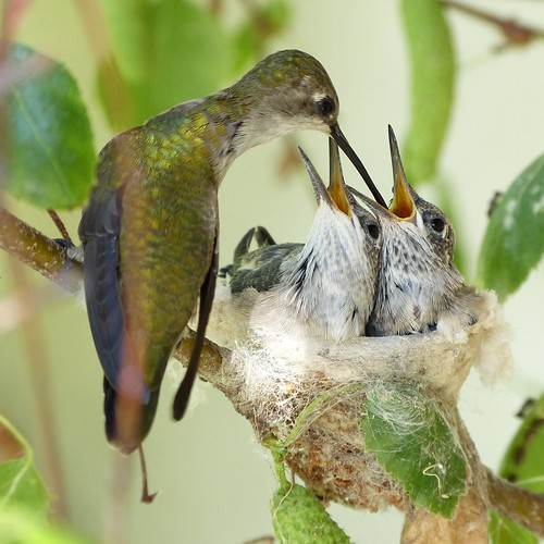 Friday's Hummingbird Nest: Feeding Time by Mike's Birds