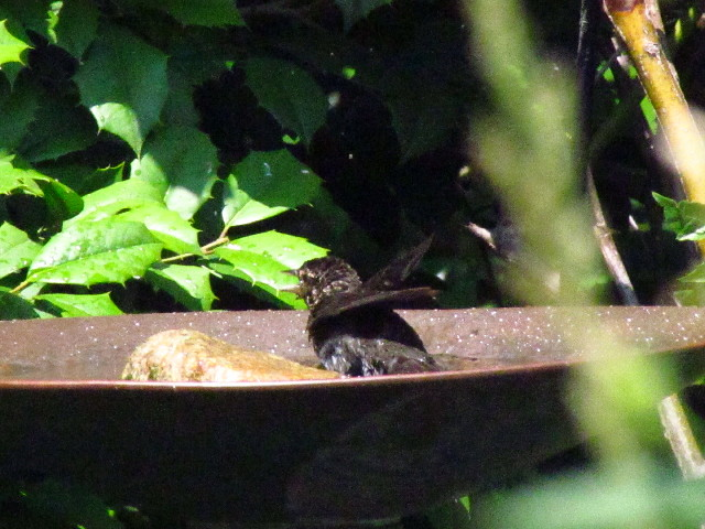 Juv. Red-winged Blackbird?4 6:24:13
