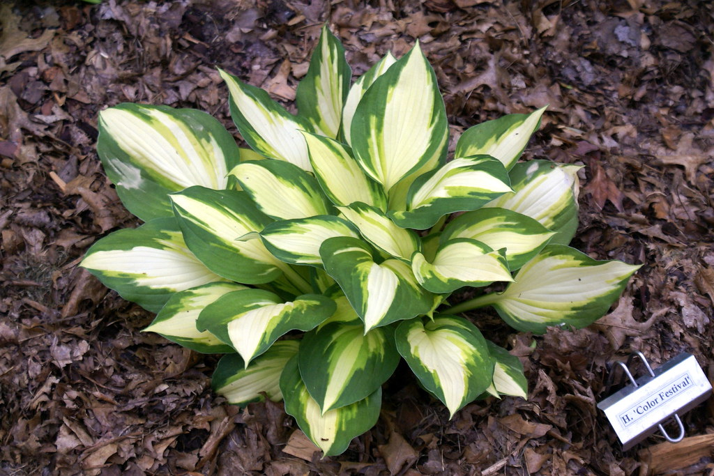 Hosta 'Color Festival' (10)-002
