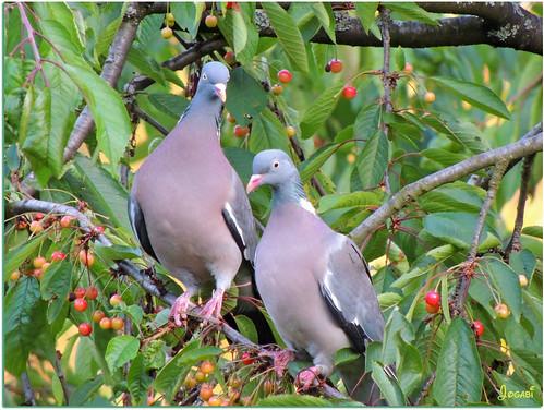 Pigeons Ramiers by Jogabi-Michèle