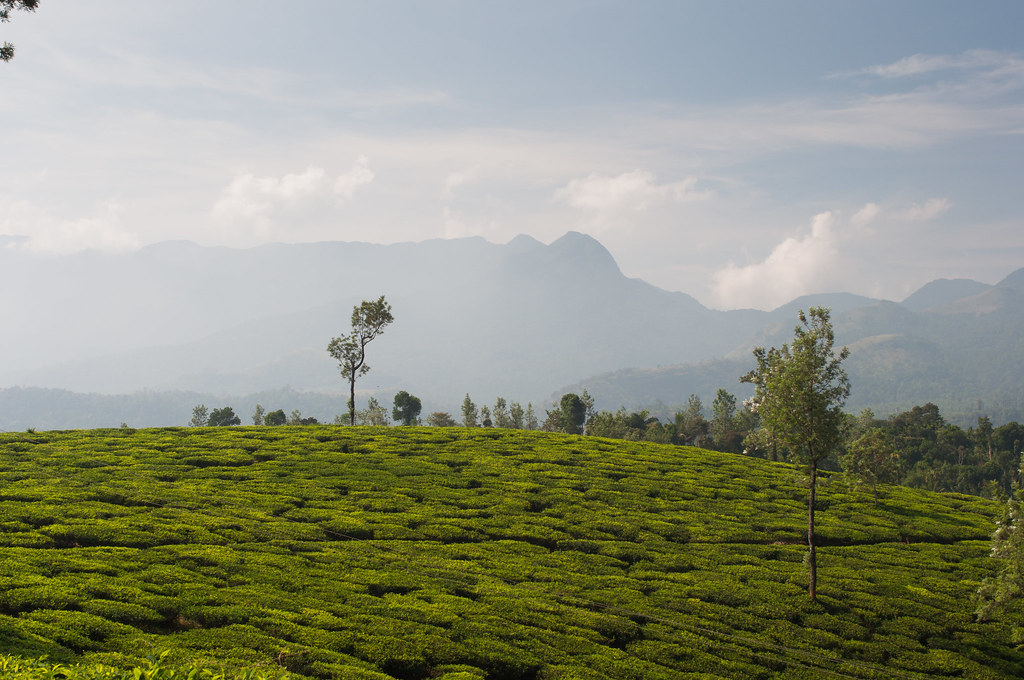 Tea hills of Kerala