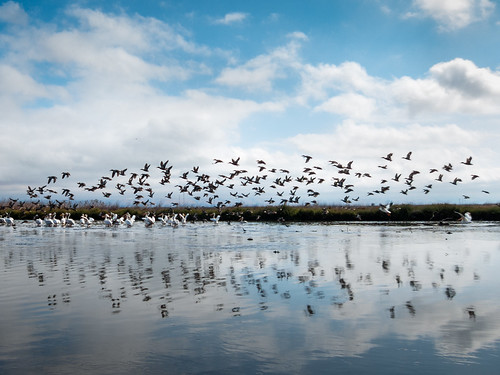 reflection pelicans water birds clouds landscape flying day cloudy flock ducks paloalto sanfranciscobay baylands s100 byxbypark