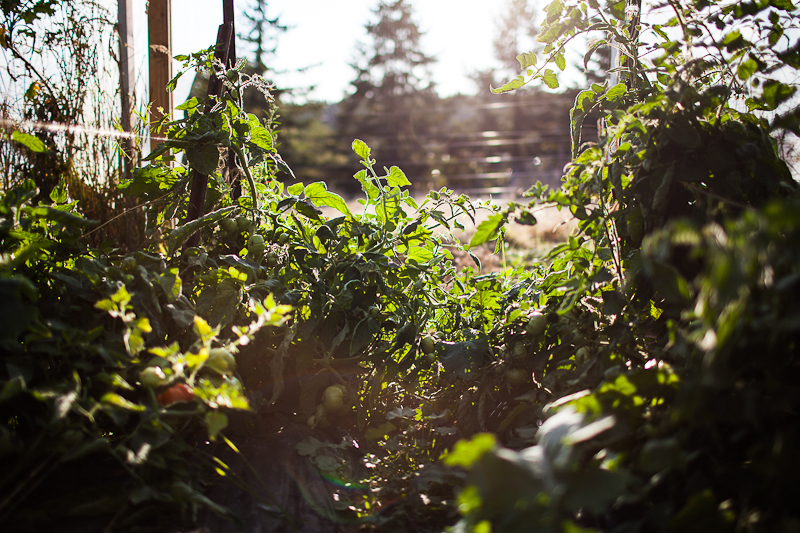 Tomatoes at Stitchdown Farm, Vashon Island, WA // the year in food