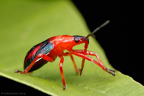 Stink bug nymph, Pentatomidae by Anthony Kei C