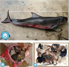 泰國攀牙灣,死亡的侏儒抹香鯨,死因是誤食塑膠袋與垃圾。(照片:泰國普吉島海洋生物中心,海洋與海岸資源部門。)