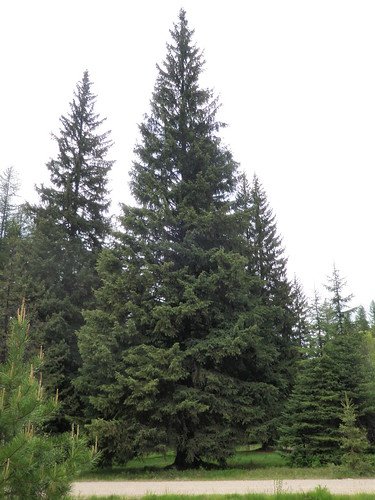 This 88-foot Engelmann spruce will arrive today in Washington, D.C. By Dec. 3, it will be strung with tens of thousands of lights as the 2013 U.S. Capitol Christmas tree.