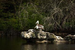 Pélicans dans le St Jame's Park