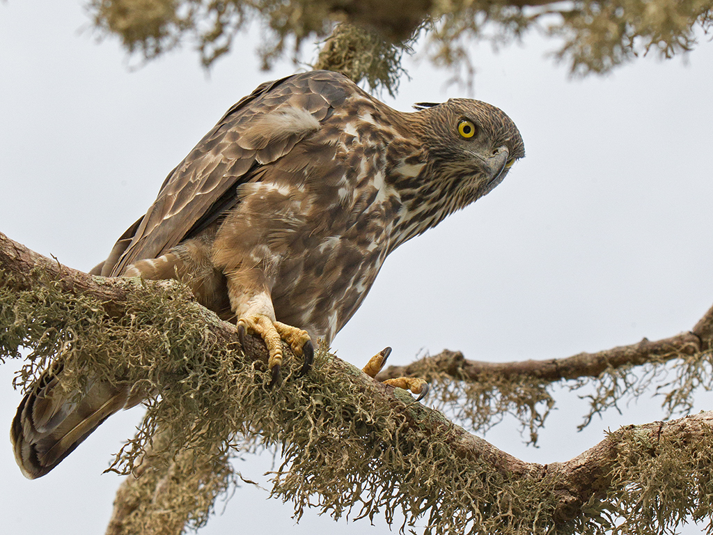 Crested Hawk-Eagle 2013-11-29