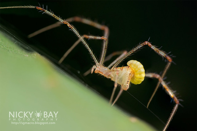 Comb-Footed Spider with parasite (Theridiidae) - DSC_3173