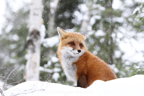 Winter Wildlife by Megan Lorenz