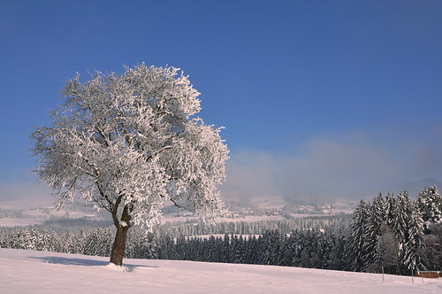 Apfelbaum in weißer Pracht  -  Apple tree in white splendor
