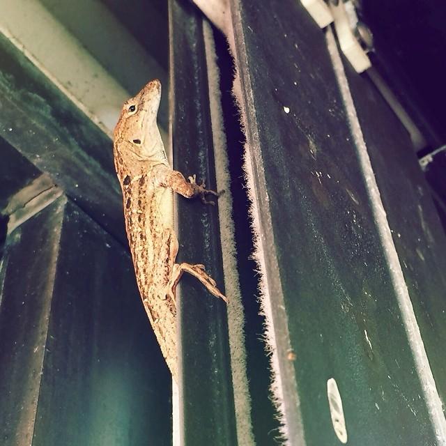 #lizard in my Florida room. He was a big guy. #pictapgo_app