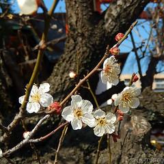 榴岡天満宮の梅
