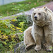 Small photo of Sitting brown bear