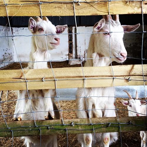 #goatsofinstagram