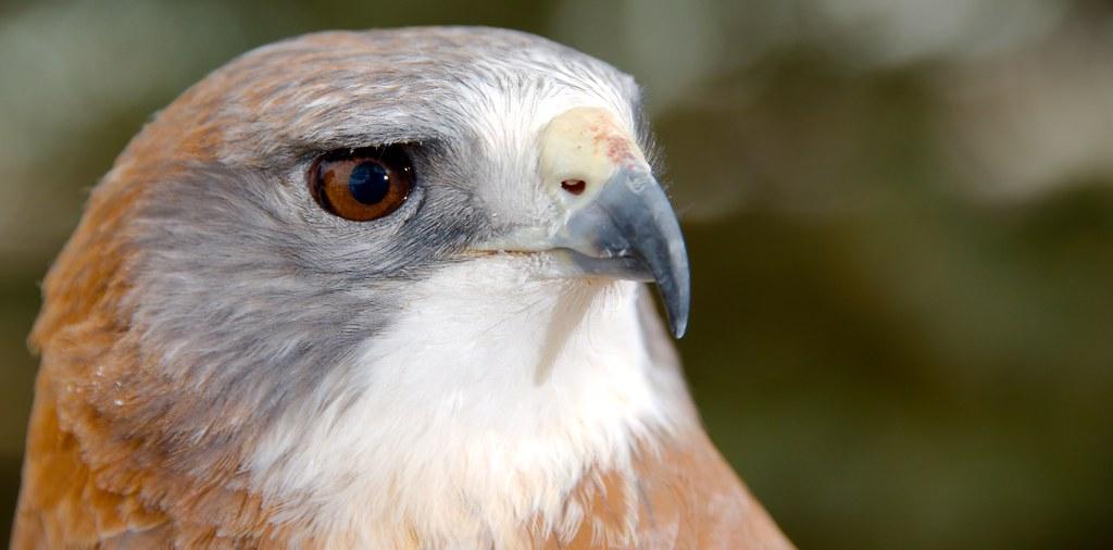Swainsons Hawk (Buteo swainsoni)_11