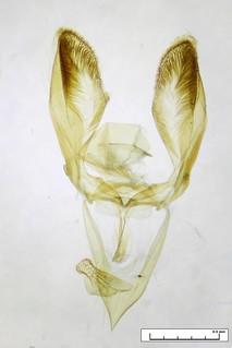 Sphenarches anisodactylus