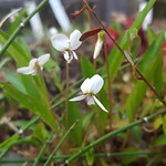 Viola lanceolata, bog white violet