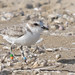 Banded Western Snowy Plover by Ingrid Taylar