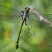 Dragonhunter (Hagenius brevistylus) Dragonfly - Female by daveumich