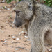 Small photo of Alpha Male Baboon