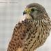 Hawk Profile by Dr. Ilia