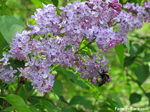 (25-8a) The sweet smell of lilacs is in the air - FarmgirlFare.com - Copy